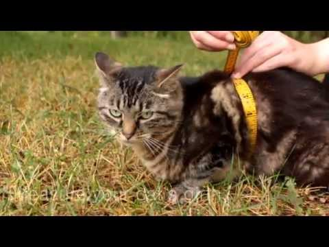 How to Measure Your Cat for a Harness