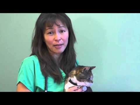 Hyperthyroidism in cats | Dr. Justine Lee