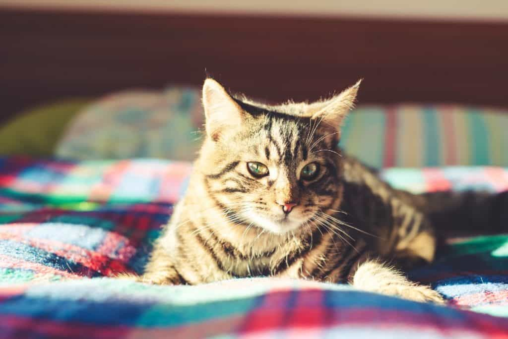 Tabby cat laying on a quilt.
