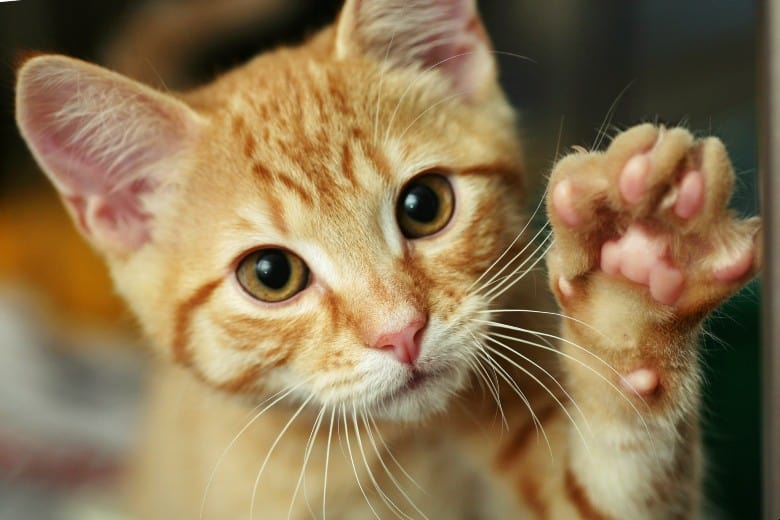 Orange kitty saying, hello!