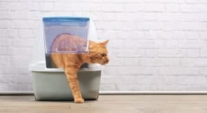Orange tabby wishing for a cat litter disposal system.
