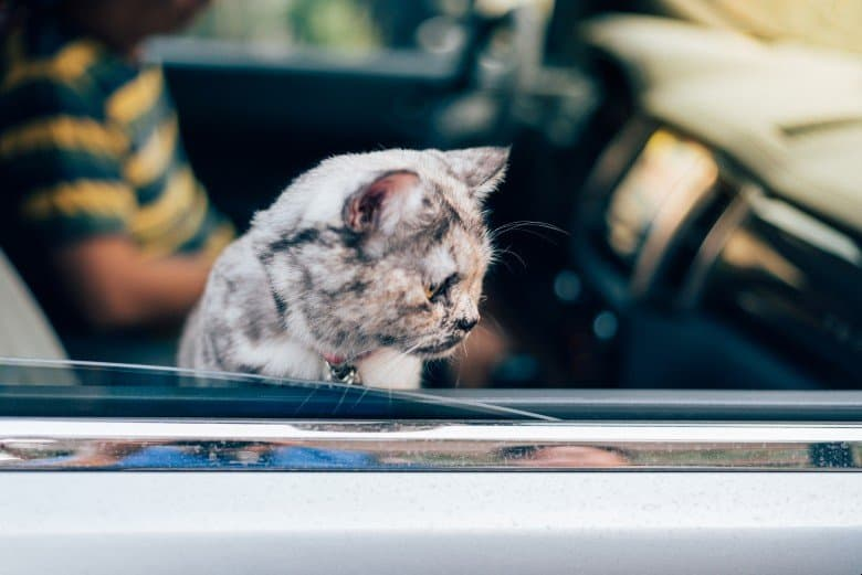 Cat going for a ride in a car.