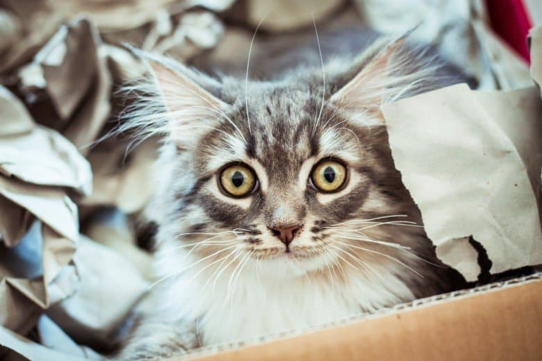 Maine coon cat peers out of cardboard box.