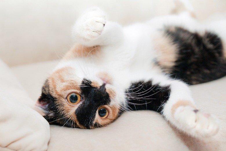 Cute upside down tri-colored tuxedo cat.
