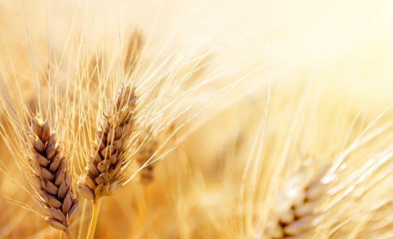 Field of grains.