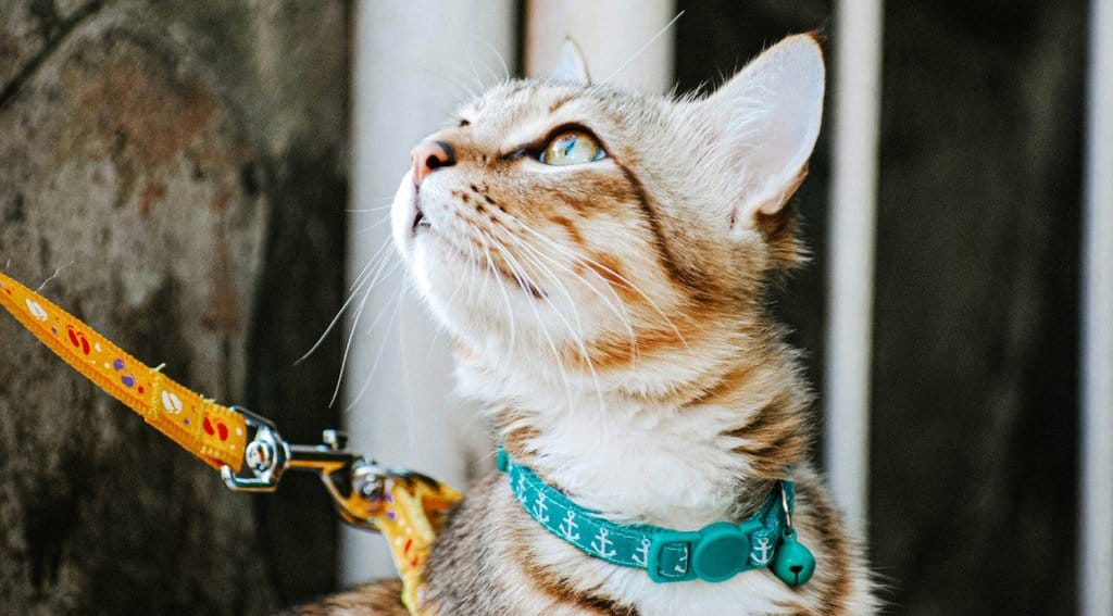 Tabby cat in a cat harness and leash.