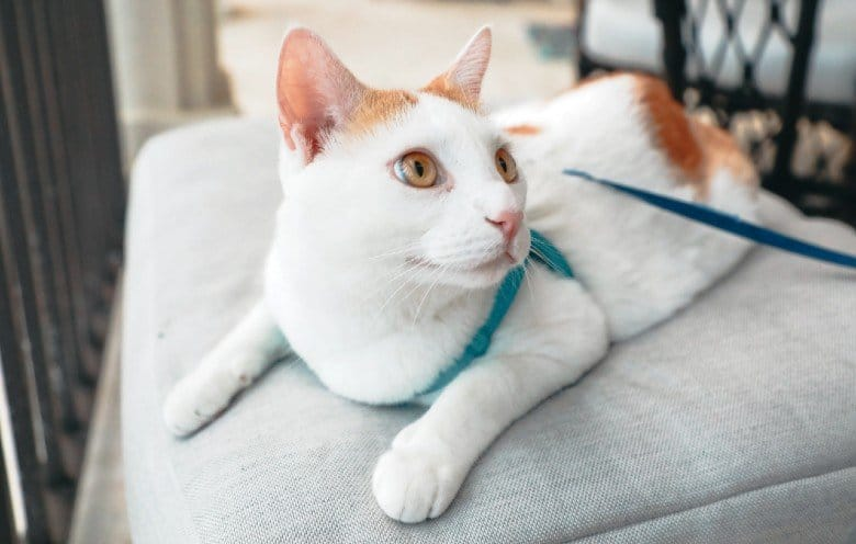 Cat in a blue cat harness and leash.