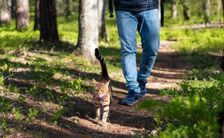 Cat being walked on a leash in a cat harness.