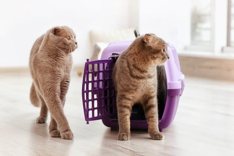 Scottish fold cat in a hard sided cat carrier.