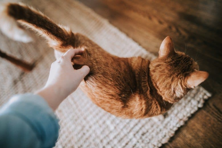 Orange tabby cat being petted by cat parent.