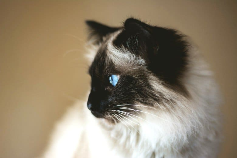 Hypoallergenic long haired cat breed