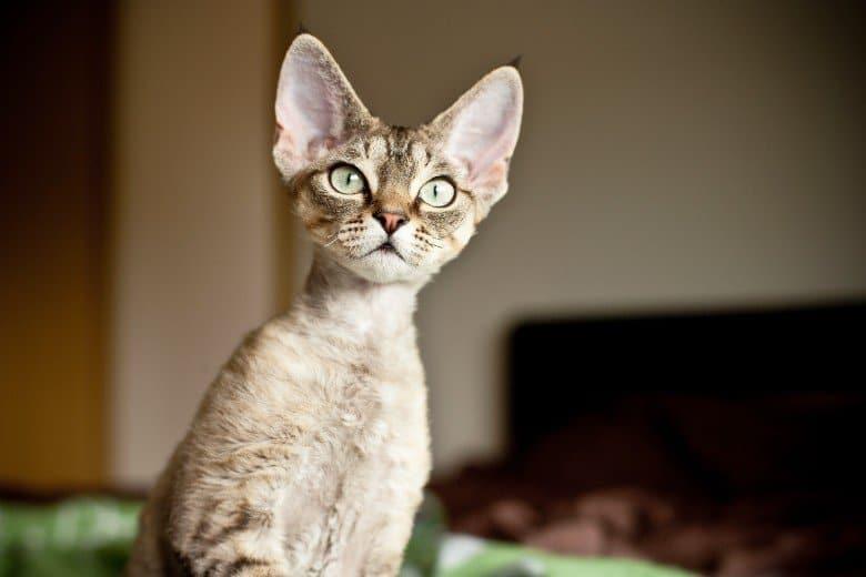 Devon rex kitty cat