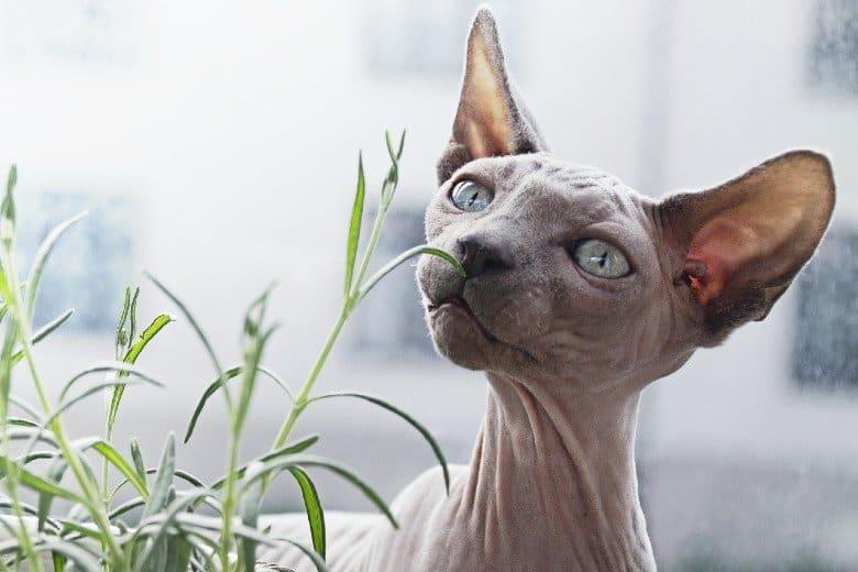 Hairless Sphynx cat.