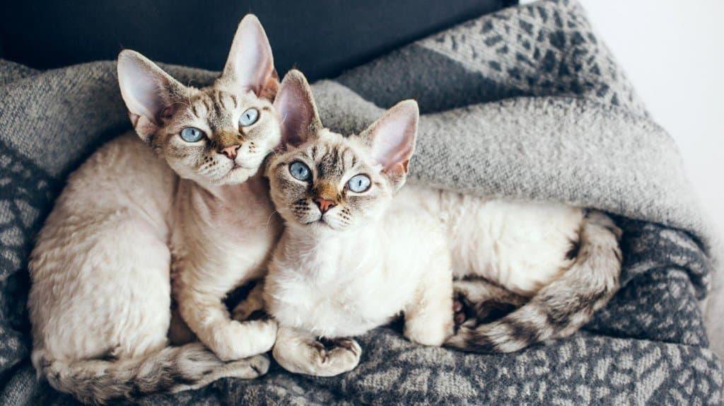 Cute hypoallergenic Devon rex kittens