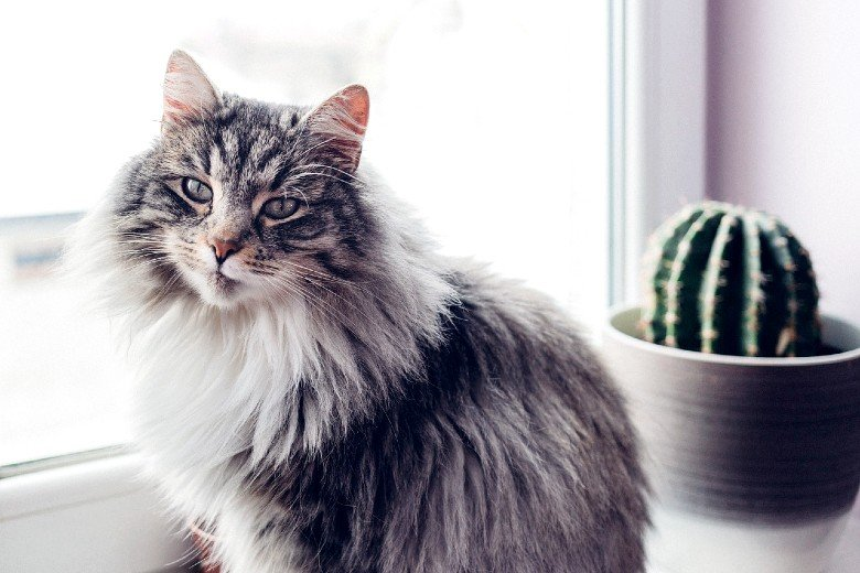 Hypoallergenic cat breed Siberian cats.
