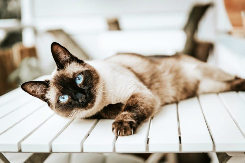 Siamese breed cat lounging on a table.