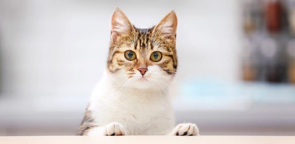 Diabetic cat needing a diet of low carb cat food.